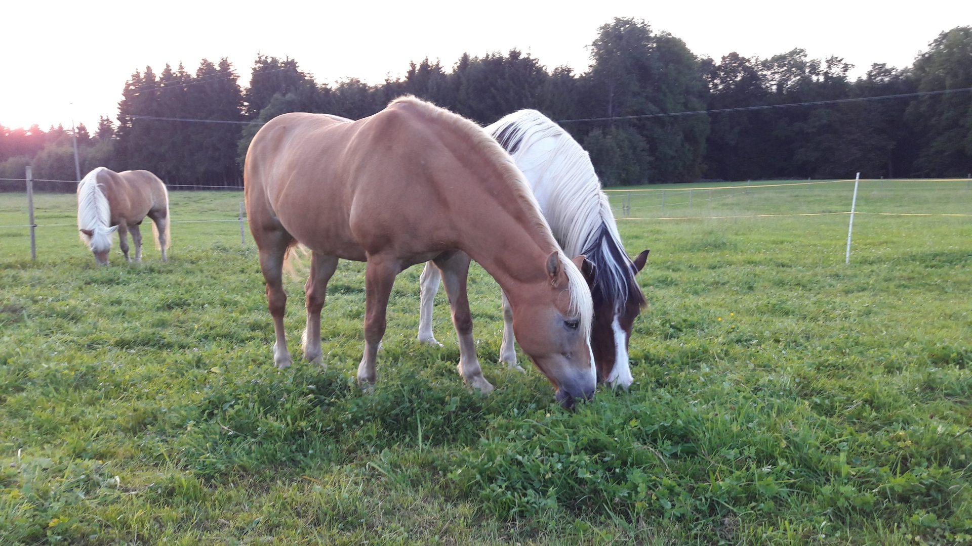 Entwurmung Pferd Wurmkur Bandwurm